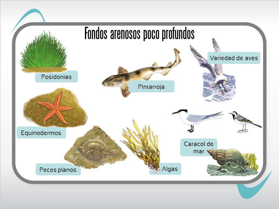 Posidonias Peces planos Caracol de mar Equinodermos Algas Pintarroja Variedad de aves Fondos arenosos poco profundos