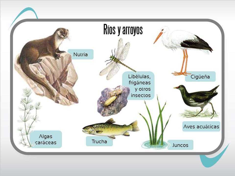 Aves acuáticas Nutria Libélulas, frigáneas y otros insectos Juncos Cigüeña Algas caráceas Trucha Ríos y arroyos