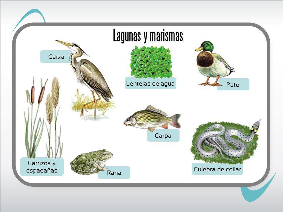 Culebra de collar Lentejas de agua Carrizos y espadañas Garza Pato Rana Carpa Lagunas y marismas