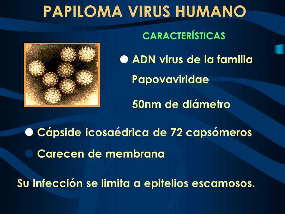 ADN virus de la familia Papovaviridae PAPILOMA VIRUS HUMANO CARACTERÍSTICAS 50nm de diámetro Carecen de membrana Cápside icosaédrica de 72 capsómeros