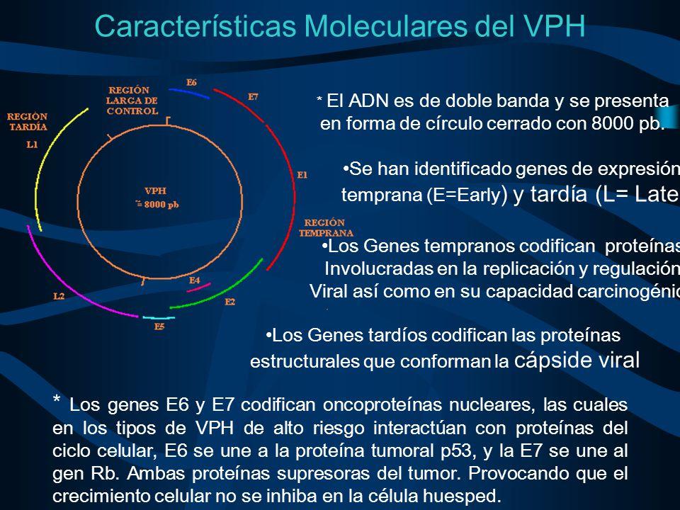 Características Moleculares del VPH * El ADN es de doble banda y se presenta en forma de círculo cerrado con 8000 pb. Se han identificado genes de exp