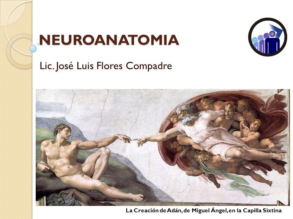 NEUROANATOMIA Lic. José Luis Flores Compadre La Creación de Adán, de Miguel Ángel, en la Capilla Sixtina