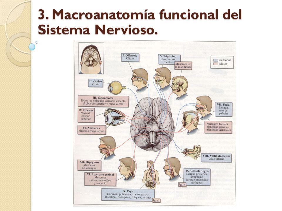 Fisiológicamente El Sistema Nervioso Somático, también llamado sistema nervioso de la vida de relación, está formado por el conjunto de neuronas que regulan las funciones voluntarias o conscientes en el organismo sensaciones y movimientos.