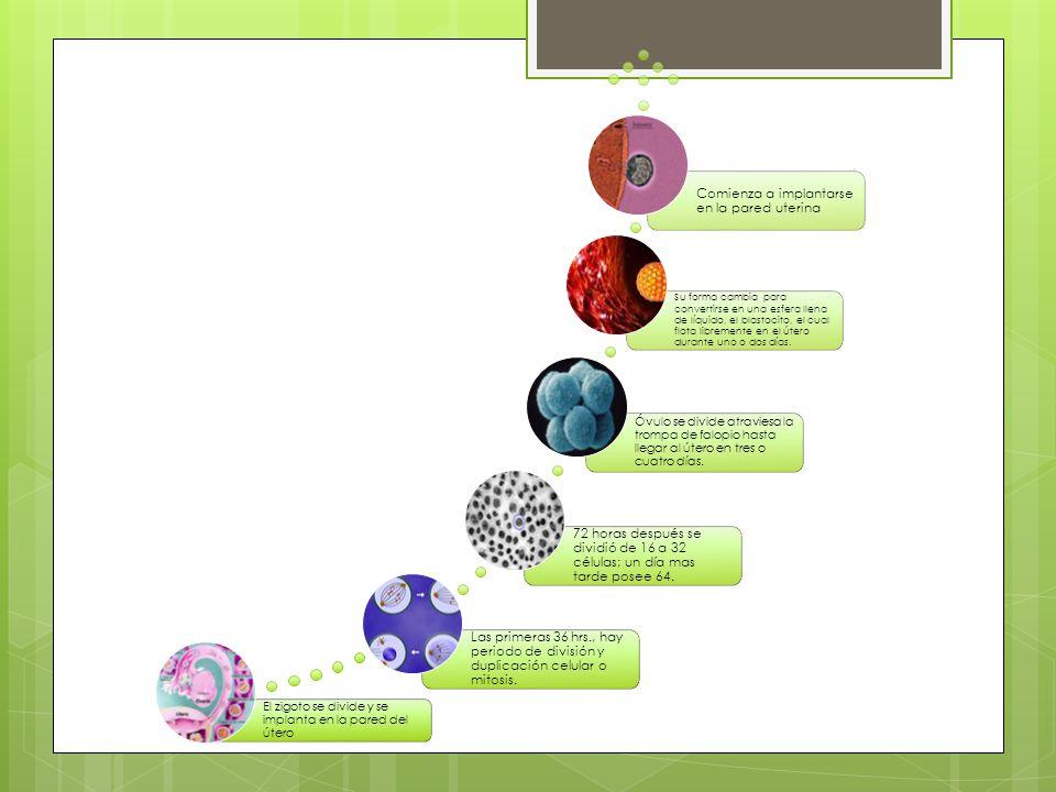 El zigoto se divide y se implanta en la pared del útero Las primeras 36 hrs., hay periodo de división y duplicación celular o mitosis. 72 horas despué