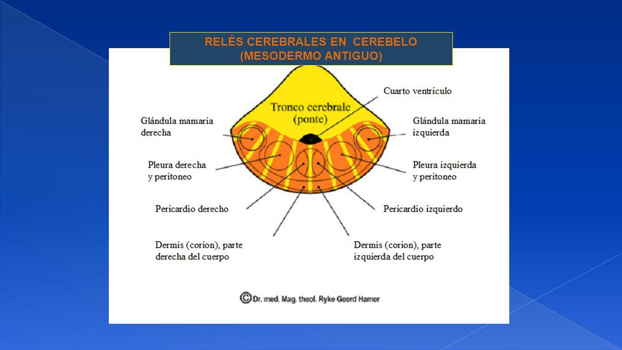 RELÉS CEREBRALES EN CEREBELO (MESODERMO ANTIGUO)