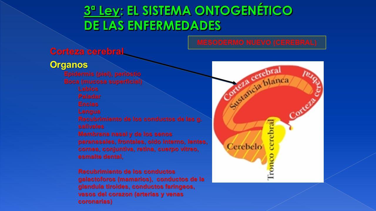 MESODERMO NUEVO (CEREBRAL) Organos Epidermis (piel), periostio Boca (mucosa superficial) LabiosPaladarEnciasLengua Recubrimiento de los conductos de l