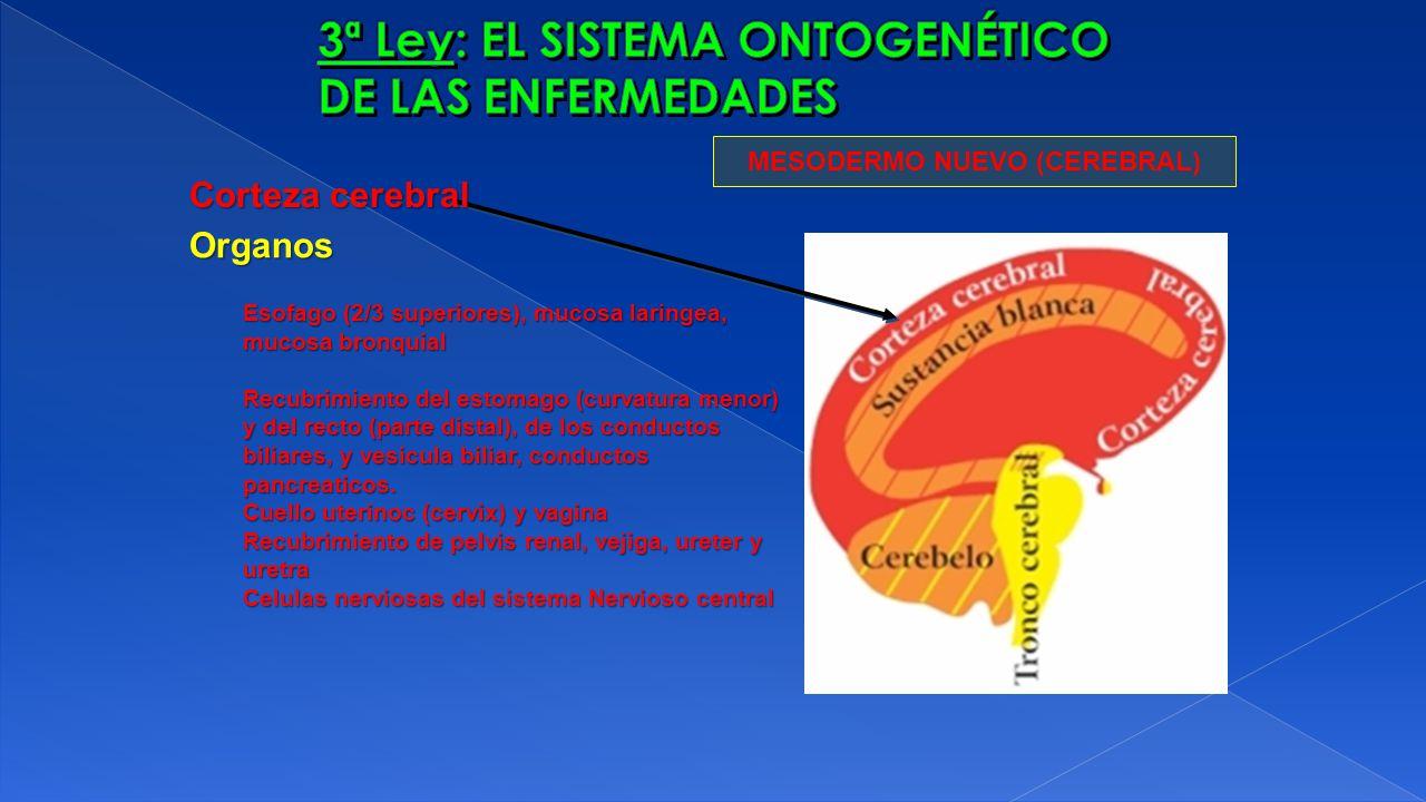 MESODERMO NUEVO (CEREBRAL) Organos Esofago (2/3 superiores), mucosa laringea, mucosa bronquial Recubrimiento del estomago (curvatura menor) y del rect