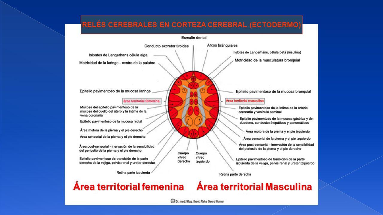 RELÉS CEREBRALES EN CORTEZA CEREBRAL (ECTODERMO) Área territorial femenina Área territorial Masculina