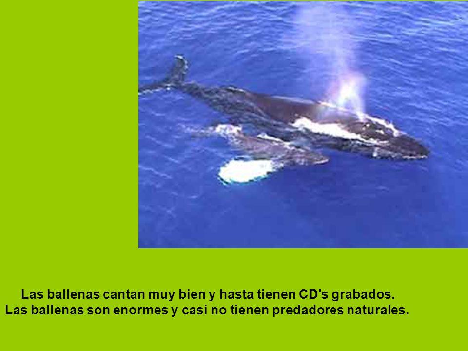 Las ballenas cantan muy bien y hasta tienen CD's grabados. Las ballenas son enormes y casi no tienen predadores naturales.
