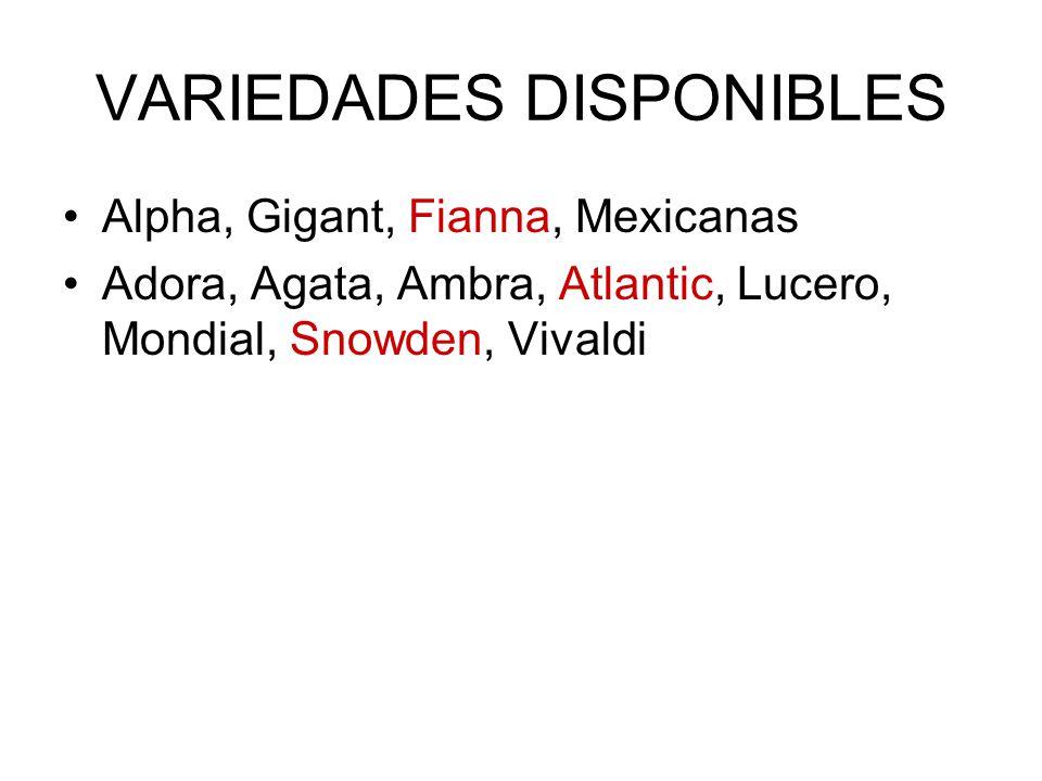 VARIEDADES DISPONIBLES Alpha, Gigant, Fianna, Mexicanas Adora, Agata, Ambra, Atlantic, Lucero, Mondial, Snowden, Vivaldi