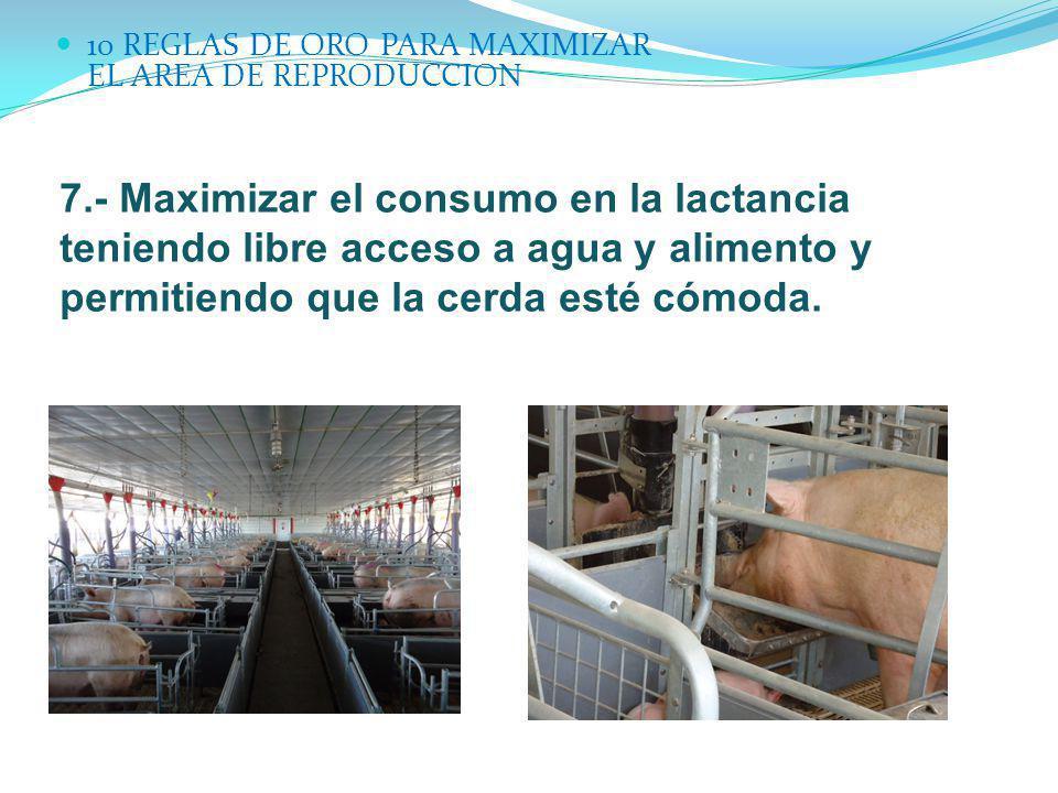 10 REGLAS DE ORO PARA MAXIMIZAR EL AREA DE REPRODUCCION 7.- Maximizar el consumo en la lactancia teniendo libre acceso a agua y alimento y permitiendo