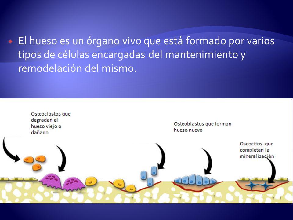 El hueso es un órgano vivo que está formado por varios tipos de células encargadas del mantenimiento y remodelación del mismo.
