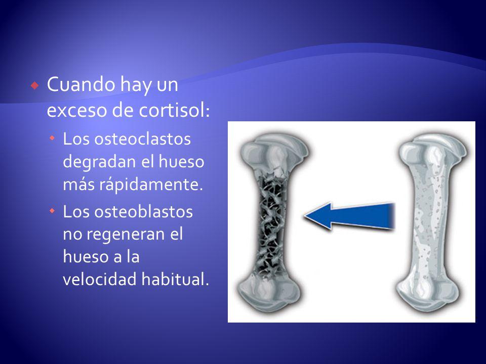 Cuando hay un exceso de cortisol: Los osteoclastos degradan el hueso más rápidamente. Los osteoblastos no regeneran el hueso a la velocidad habitual.