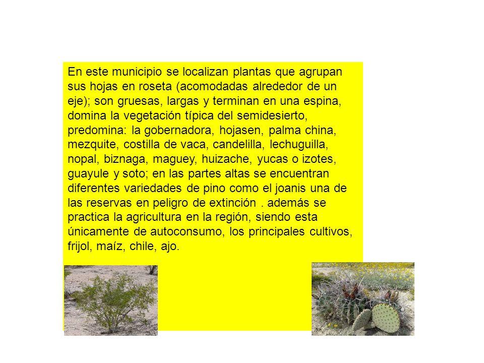 En este municipio se localizan plantas que agrupan sus hojas en roseta (acomodadas alrededor de un eje); son gruesas, largas y terminan en una espina,
