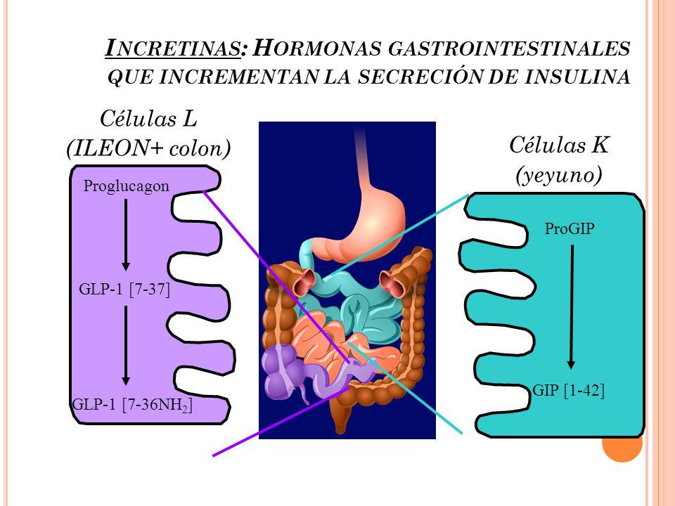 Células L (ILEON+ colon) Proglucagon GLP-1 [7-37] GLP-1 [7-36NH 2 ] Células K (yeyuno) ProGIP GIP [1-42] I NCRETINAS : H ORMONAS GASTROINTESTINALES QU