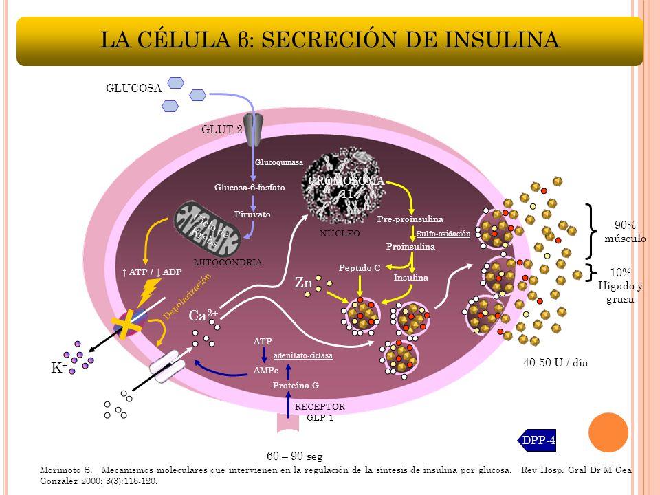 LA CÉLULA β: SECRECIÓN DE INSULINA NÚCLEO Zn Pre-proinsulina Sulfo-oxidación Proinsulina Insulina Peptido C CROMOSOMA 11 AMPc RECEPTOR GLP-1 ATP DPP-4