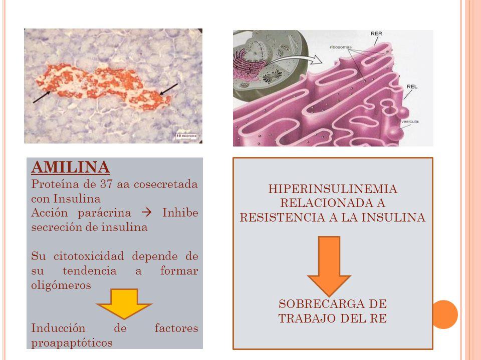 AMILINA Proteína de 37 aa cosecretada con Insulina Acción parácrina Inhibe secreción de insulina Su citotoxicidad depende de su tendencia a formar oli