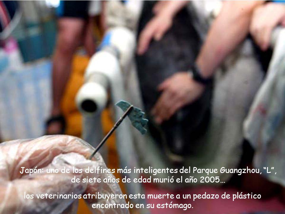 Japón: uno de los delfines más inteligentes del Parque Guangzhou, L, de siete años de edad murió el año 2005… los veterinarios atribuyeron esta muerte a un pedazo de plástico encontrado en su estómago.