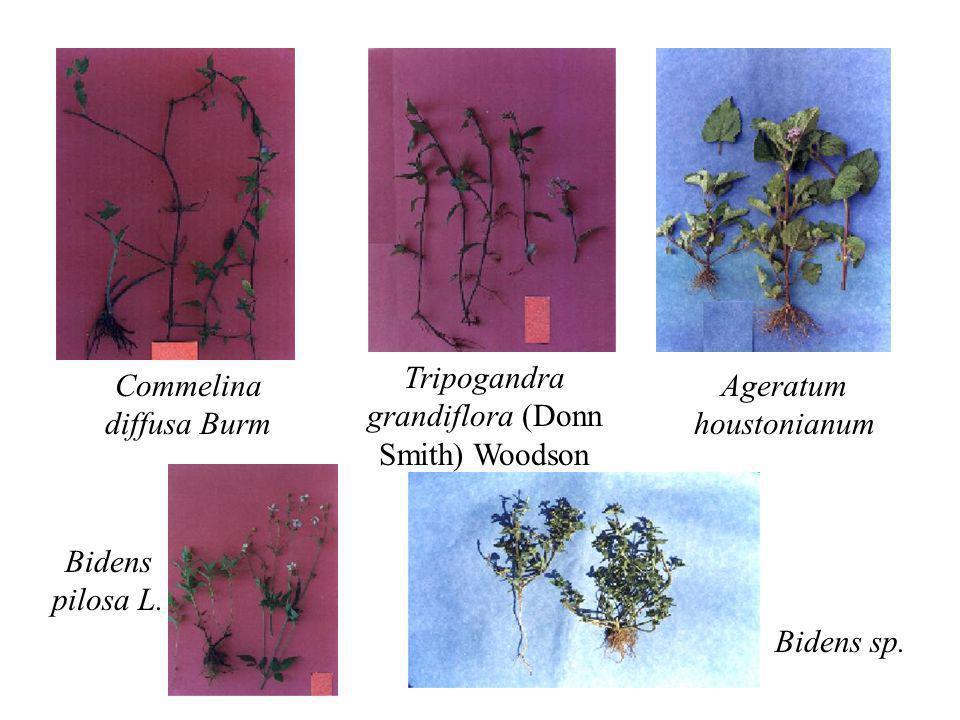Commelina diffusa Burm Tripogandra grandiflora (Donn Smith) Woodson Ageratum houstonianum Bidens pilosa L. Bidens sp.