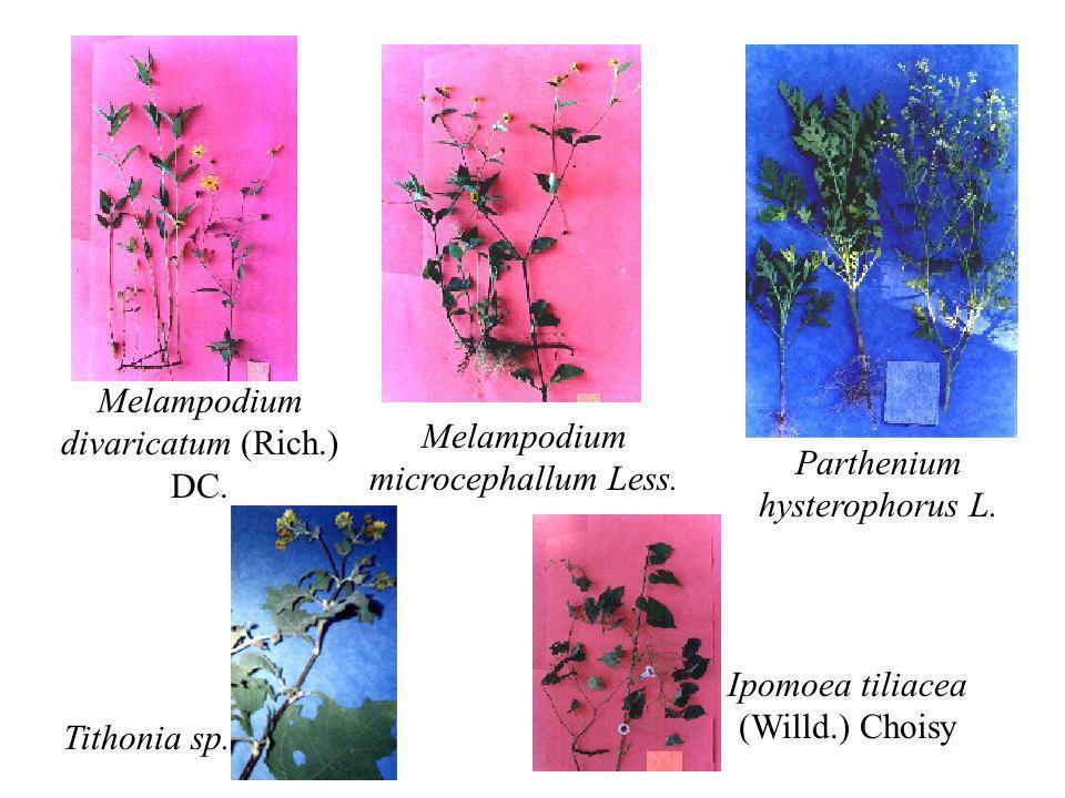 Melampodium divaricatum (Rich.) DC. Melampodium microcephallum Less. Parthenium hysterophorus L. Tithonia sp. Ipomoea tiliacea (Willd.) Choisy