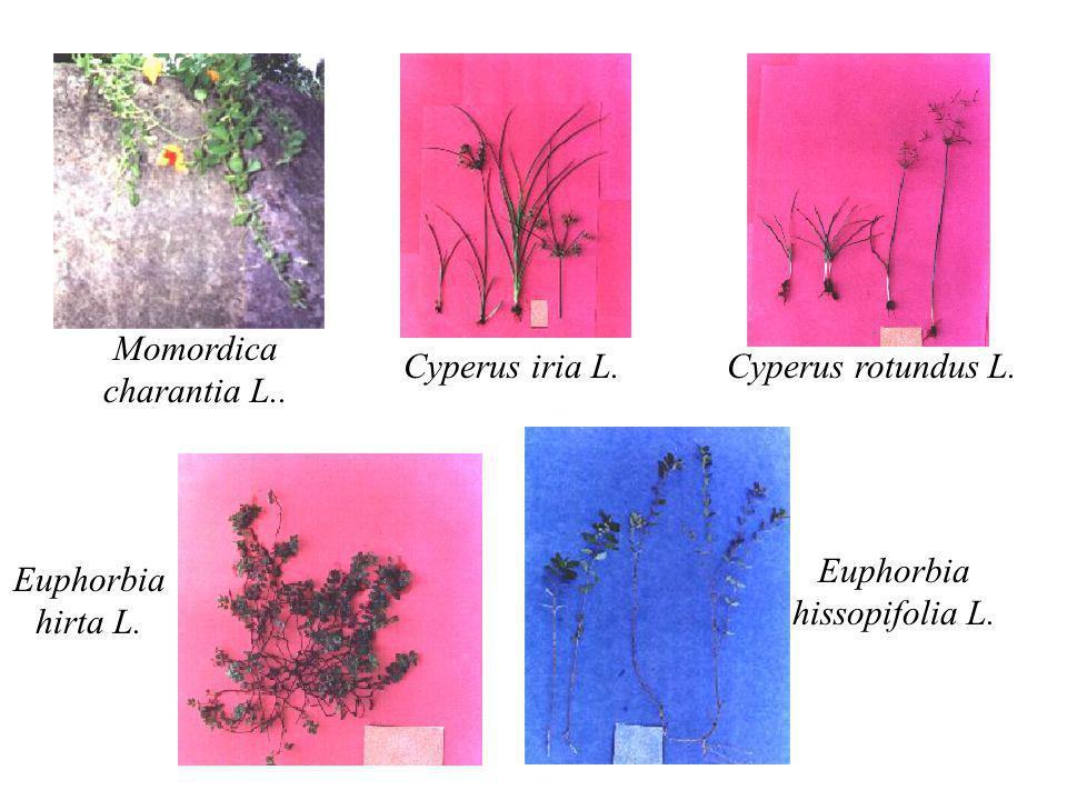 Momordica charantia L.. Cyperus iria L.Cyperus rotundus L. Euphorbia hirta L. Euphorbia hissopifolia L.