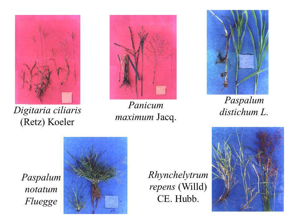 Digitaria ciliaris (Retz) Koeler Panicum maximum Jacq. Paspalum distichum L. Paspalum notatum Fluegge Rhynchelytrum repens (Willd) CE. Hubb.