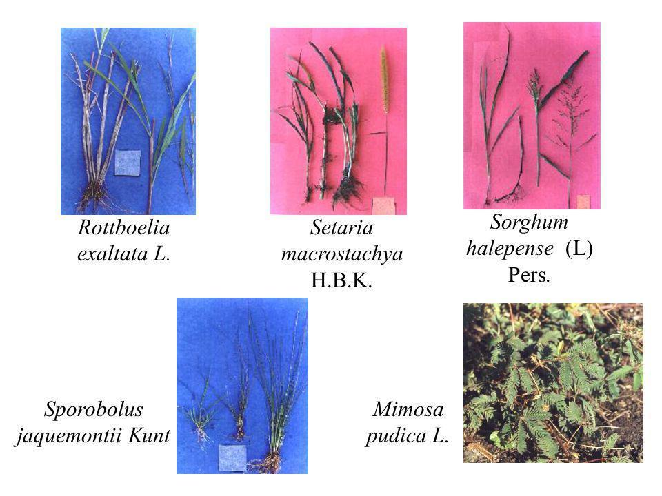 Rottboelia exaltata L. Setaria macrostachya H.B.K. Sorghum halepense (L) Pers. Sporobolus jaquemontii Kunt Mimosa pudica L.