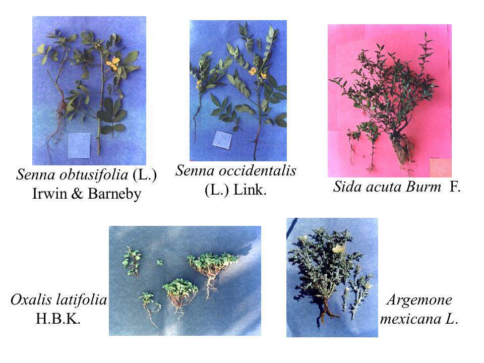 Senna obtusifolia (L.) Irwin & Barneby Senna occidentalis (L.) Link. Sida acuta Burm F. Oxalis latifolia H.B.K. Argemone mexicana L.