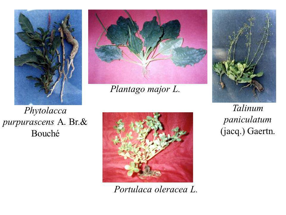 Phytolacca purpurascens A. Br.& Bouché Plantago major L. Talinum paniculatum (jacq.) Gaertn. Portulaca oleracea L.