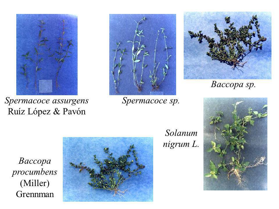 Spermacoce assurgens Ruíz López & Pavón Spermacoce sp. Baccopa procumbens (Miller) Grennman Baccopa sp. Solanum nigrum L.