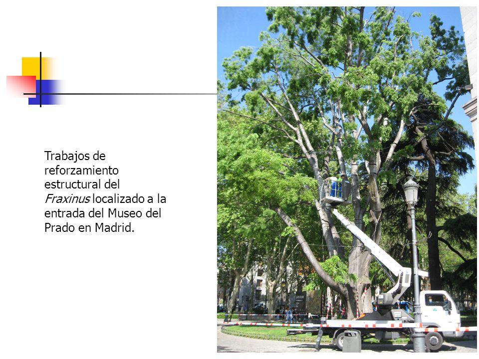 Trabajos de reforzamiento estructural del Fraxinus localizado a la entrada del Museo del Prado en Madrid.
