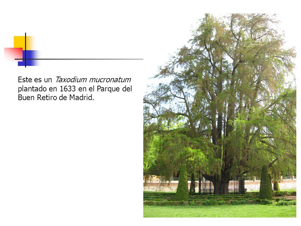 Este es un Taxodium mucronatum plantado en 1633 en el Parque del Buen Retiro de Madrid.