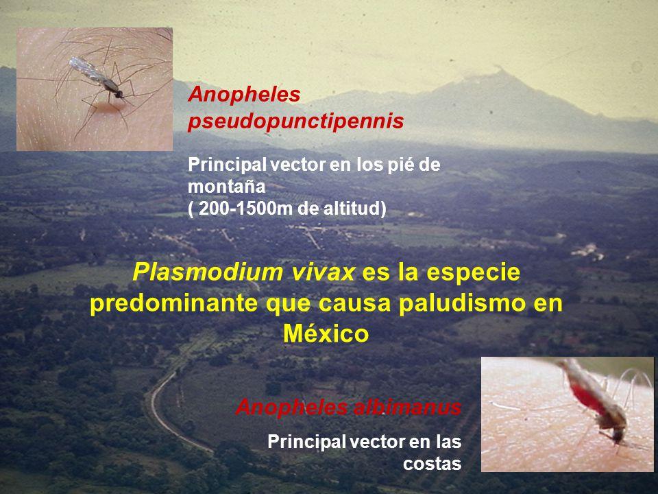 Anopheles pseudopunctipennis Principal vector en los pié de montaña ( 200-1500m de altitud) Anopheles albimanus Principal vector en las costas Plasmod