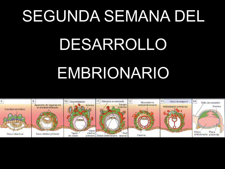 SEGUNDA SEMANA DEL DESARROLLO EMBRIONARIO