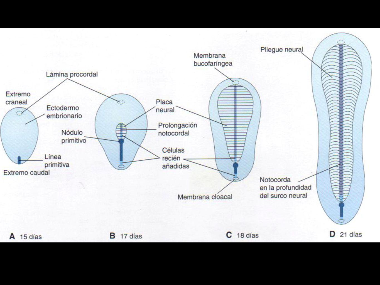 BIBLIOGRAFÍA Embriología clínica, el desarrollo del ser humano.
