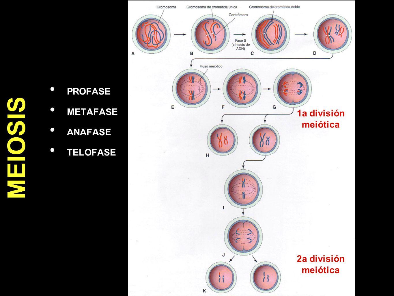 PROFASE METAFASE ANAFASE TELOFASE MEIOSIS 1a división meiótica 2a división meiótica