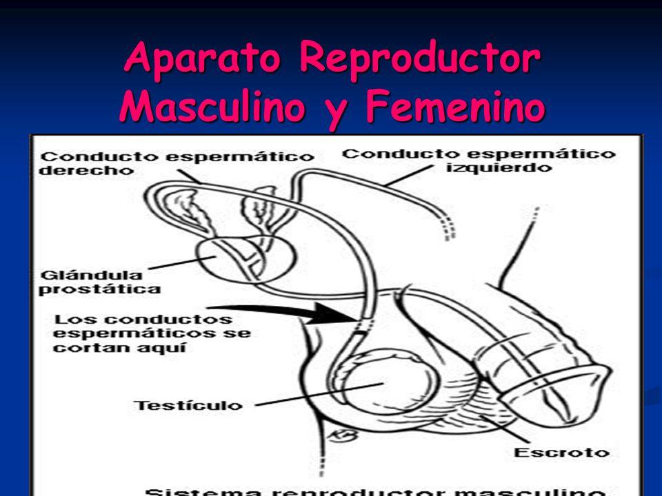 Aparato Reproductor Masculino y Femenino En los seres humanos, el sistema reproductor produce, almacena, nutre y libera las células reproductoras (óvulos y espermatozoides) y garantiza la procreación humana.