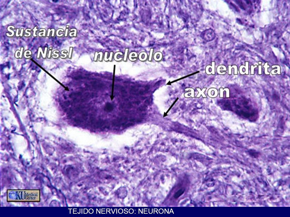 TIPOS DE TEJIDO EPITELIAL 1) Tejido epitelial de revestimiento de revestimiento externo (piel) De revestimiento interno (endotelio) células planas, escamosas, cuboideas, cilíndricas de un solo estrato (monoestratificadas) poliestratificadas