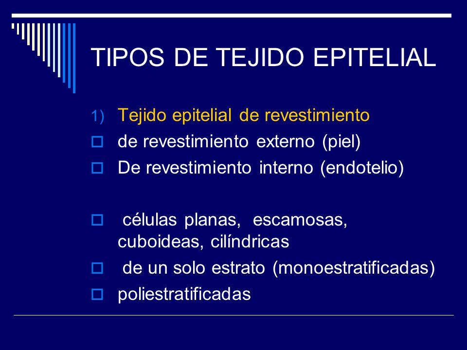 EPITELIO ESTRATIFICADO PLANO DE LA PIEL