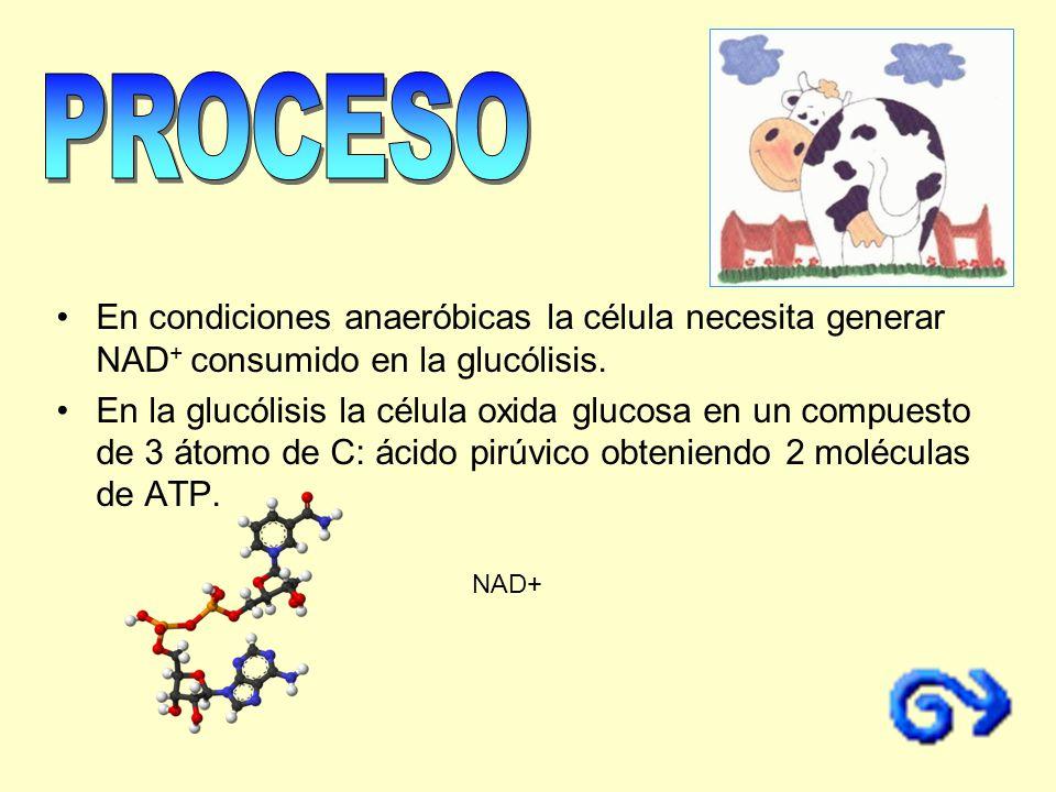 En condiciones anaeróbicas la célula necesita generar NAD + consumido en la glucólisis. En la glucólisis la célula oxida glucosa en un compuesto de 3