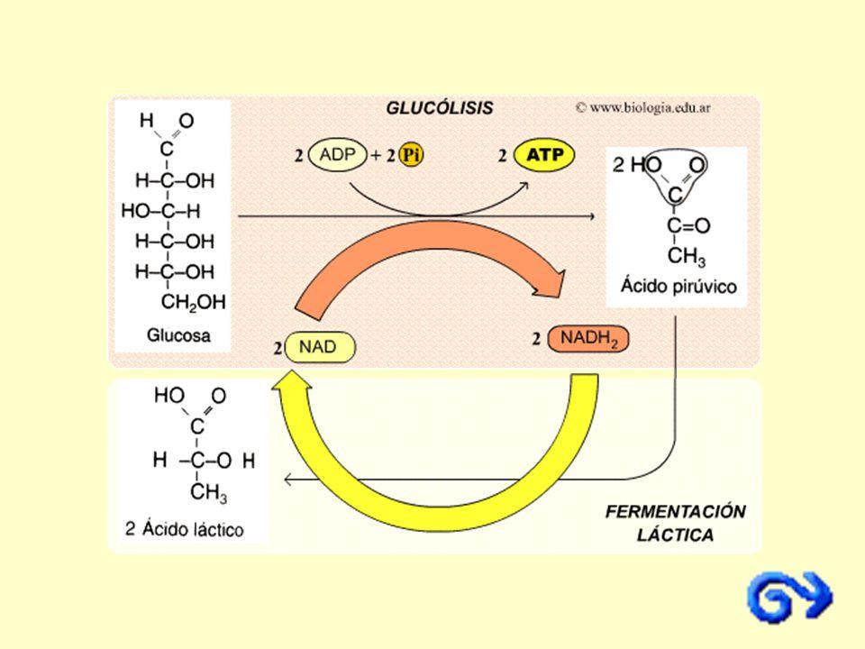 Esta fermentación tiene lugar en el músculo esquelético humano dando lugar a las agujetas.