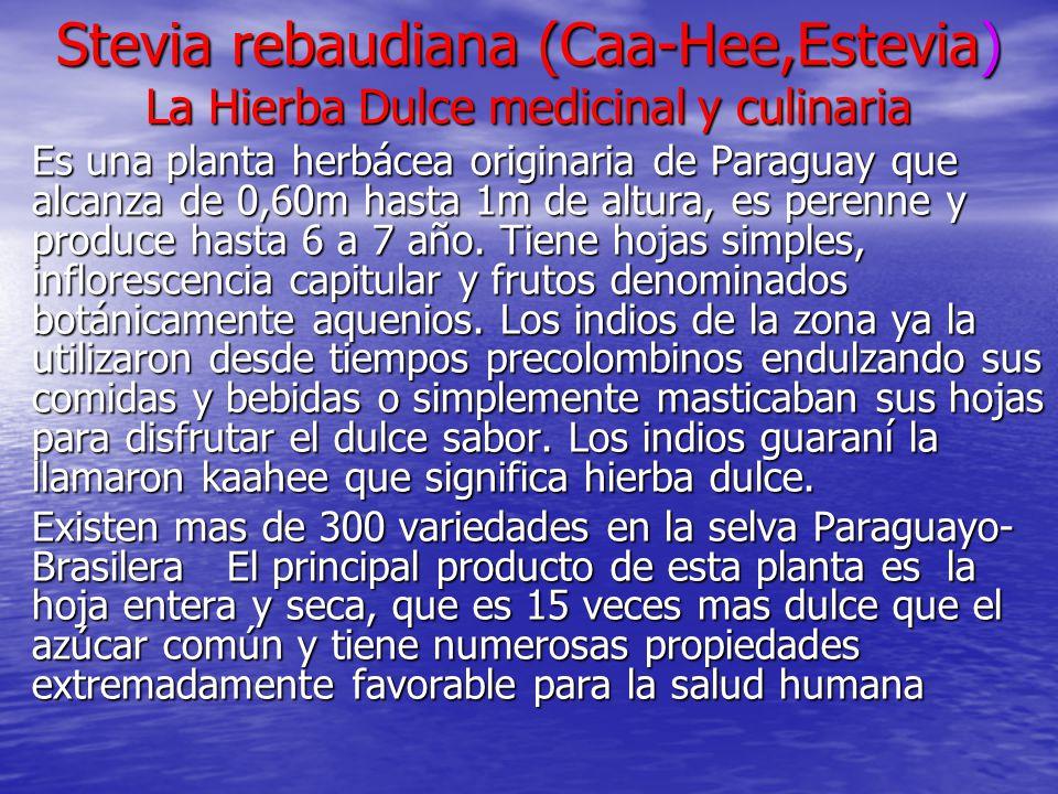 Stevia rebaudiana (Caa-Hee,Estevia) La Hierba Dulce medicinal y culinaria Es una planta herbácea originaria de Paraguay que alcanza de 0,60m hasta 1m