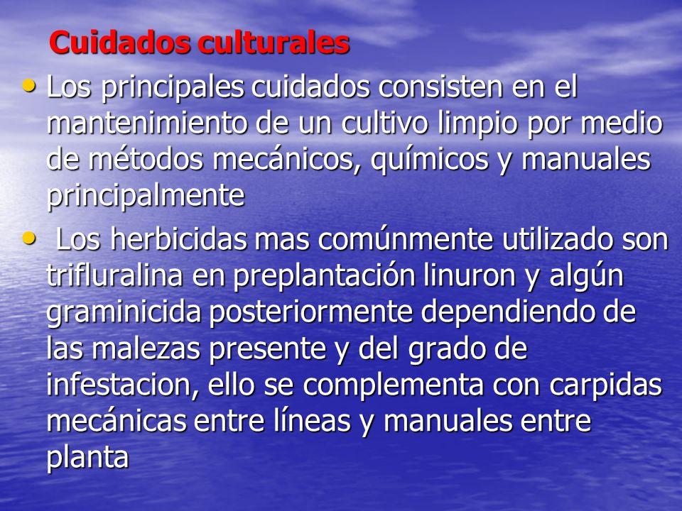 Cuidados culturales Cuidados culturales Los principales cuidados consisten en el mantenimiento de un cultivo limpio por medio de métodos mecánicos, qu