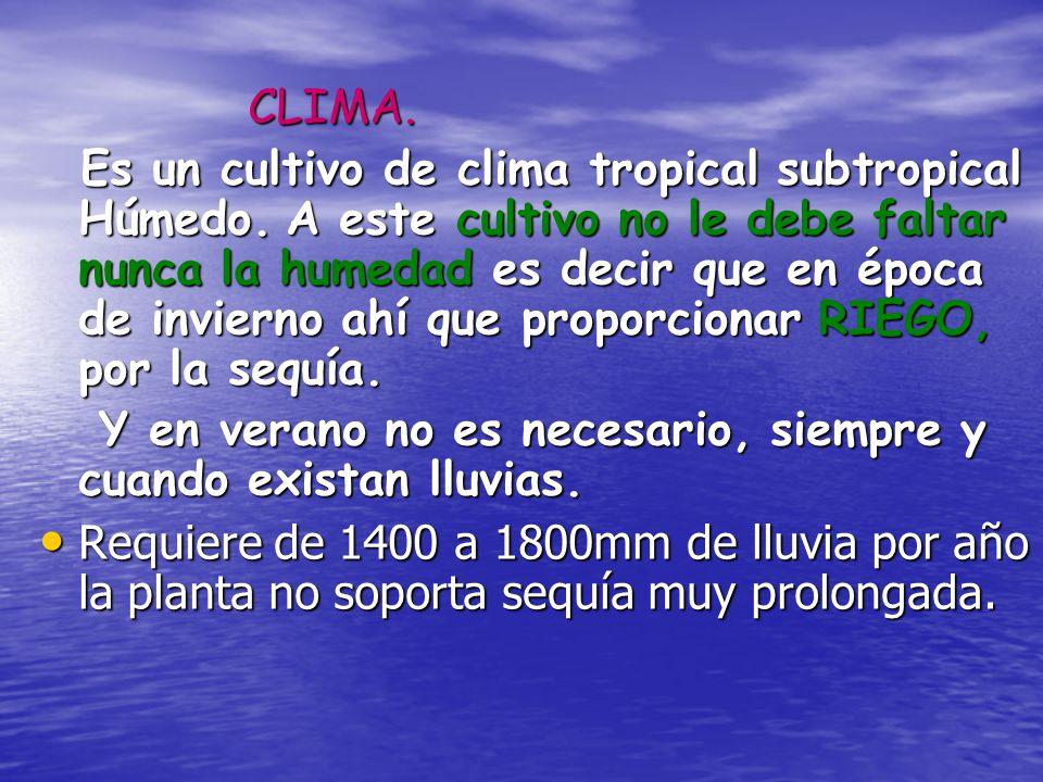 CLIMA. Es un cultivo de clima tropical subtropical Húmedo. A este cultivo no le debe faltar nunca la humedad es decir que en época de invierno ahí que