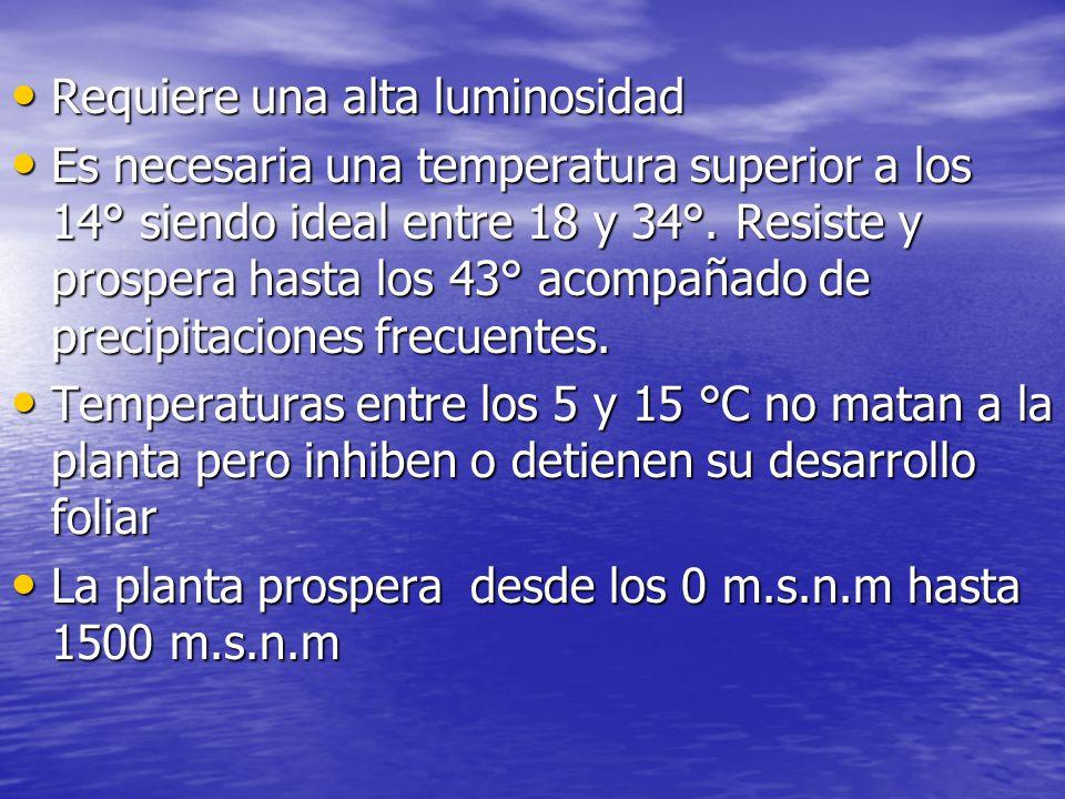 Requiere una alta luminosidad Requiere una alta luminosidad Es necesaria una temperatura superior a los 14° siendo ideal entre 18 y 34°. Resiste y pro