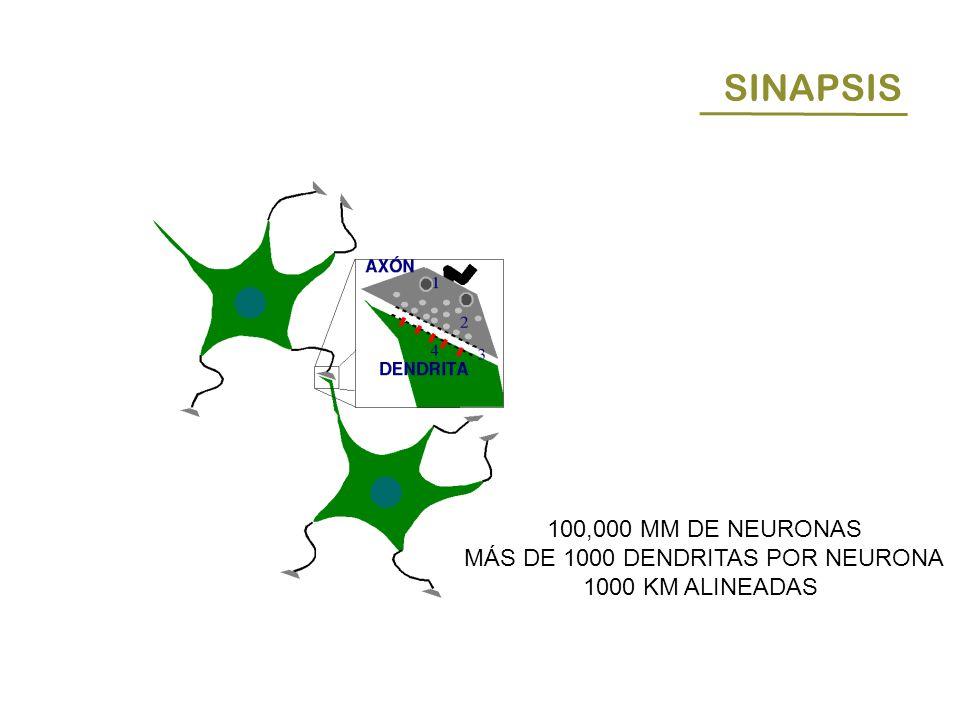SINAPSIS 100,000 MM DE NEURONAS MÁS DE 1000 DENDRITAS POR NEURONA 1000 KM ALINEADAS