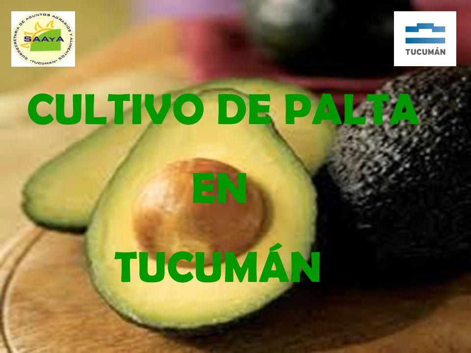 CULTIVO DE PALTA EN TUCUMÁN