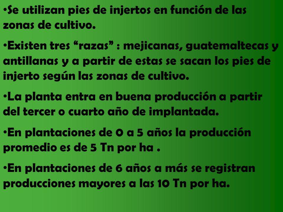 Se utilizan pies de injertos en función de las zonas de cultivo. Existen tres razas : mejicanas, guatemaltecas y antillanas y a partir de estas se sac