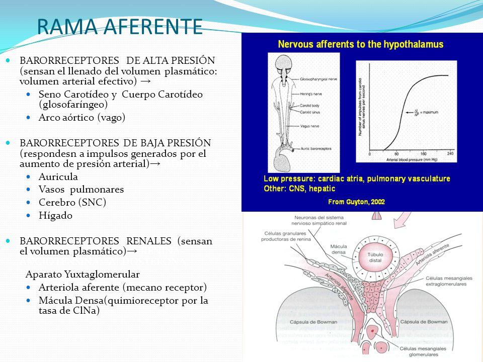 RAMA AFERENTE BARORRECEPTORES DE ALTA PRESIÓN (sensan el llenado del volumen plasmático: volumen arterial efectivo) ADH Seno Carotídeo y Cuerpo Carotí