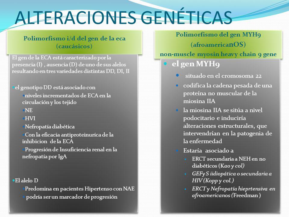 ALTERACIONES GENÉTICAS Polimorfismo i/d del gen de la eca (caucásicos) Polimorfismo del gen MYH9 (afroamerica nOS) non-muscle myosin heavy chain 9 gen